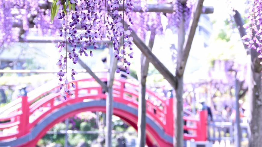Ephemeral beauties: Wisteria sways from trellises at Kameido Tenjin in front of its red taikobashi bridge.