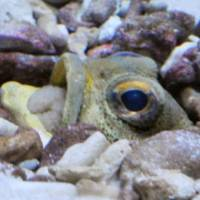 Role reversal: A gray cluster of eggs is visible inside the mouth of a male finespotted jawfish at Tokyo Sea Life Park.   KYODO