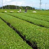 Suited to a tea: Farmers toil in a vast tea field in Shimada, Shizuoka Prefecture. Below: Tea pickers smile at a festival in Shimada on May 2. Enthusiasts gather once every three years in Japan to talk about one of the world's favorite drinks. | AFP-JIJI