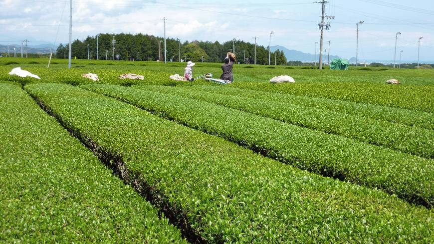 Suited to a tea: Farmers toil in a vast tea field in Shimada, Shizuoka Prefecture. Below: Tea pickers smile at a festival in Shimada on May 2. Enthusiasts gather once every three years in Japan to talk about one of the world's favorite drinks.