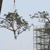 Keeping up appearances: A section of the 'miracle pine' is lowered to the ground by a crane for remodeling work in Rikuzentakata, Iwate Prefecture, on Monday. | KYODO