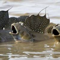 Mudskipper numbers jump eightfold