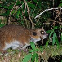 Madagascar lemur is first primate known to hibernate underground