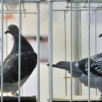 Pacy racing pigeon Bolt sets new world record