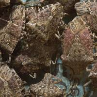 U.S. scientists wage war on stink bugs