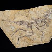 Fossil restored to branch of birds