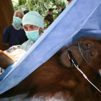 Economic casualty: An orangutan that suffered injuries after being caught and tied up by workers at a palm oil plantation, is operated on in Sumatra, Indonesia, on March 12, 2012. Indonesia has lost half of its rain forests in the last half-century, putting the country's remaining 50,000 to 60,000 orangutans in frequent, and often deadly, conflict with humans. | AP