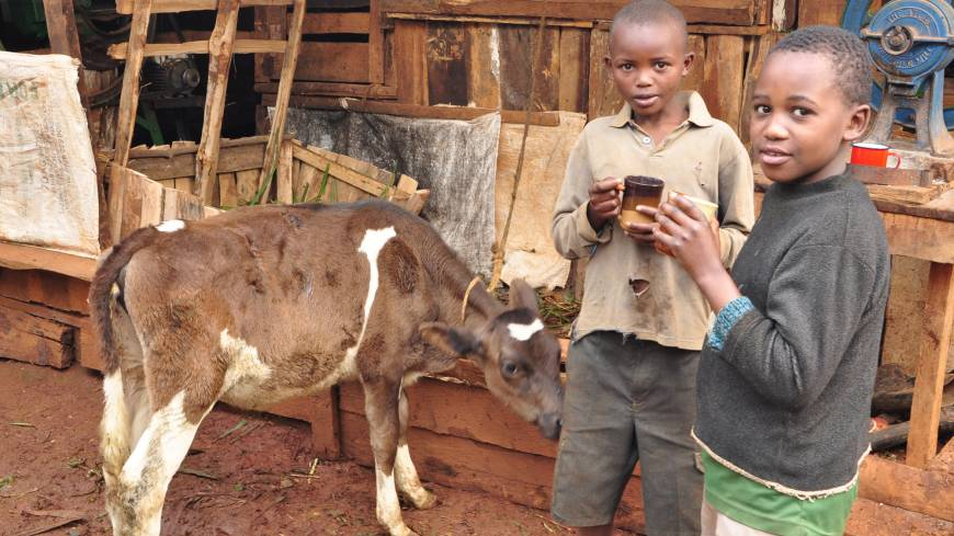 Boys drink milk from artificially inseminated cows in Rukuriri, Kenya, in October 2011.