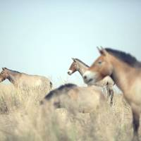 Steppe forth: Przewalski's horses roam the West Lake national nature reserve near Xihu, northwest China, on May 13. | AFP-JIJI