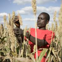 Sorghum farming in Zambia: The authors of two books on food agree that putting up the money and taking down the trade barriers to enable African farmers to be as productive as Americans would be a good start toward food security. | BLOOMBERG