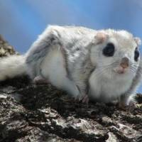 Stopover: The line on the flank of this Siberian flying squirrel is the border of its patagium, a fold of skin between the fore and hind limbs that enables it to glide through the air. | MARK BRAZIL PHOTOS