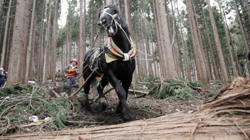 Harnessing nature: Takashi Iwama, horse-logging recently in a national forest, rides on trimmed-out timber being hauled by his powerful partner, Samurai King — who he then leads back for more.