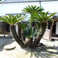 Cycads like this can be found as far north as Kyushu's Kamaguchi Prefecture. | MARK BRAZIL PHOTO