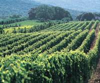 Italian grapes, French techniques: Vineyards of the Bolgheri area of Italy where the Ornellaia winery creates some of the best Super Tuscan wines. | COURTESY OF ORNELLAIA