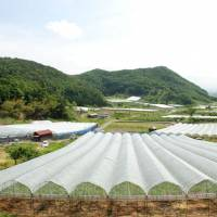 Summer shelter: At Takahata Winery in Yamagata Prefecture, special covers protect the grapes and the ground from rain and typhoons.