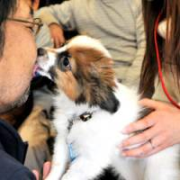 Butterfly kisses: A papillon spaniel named Parfait licks the cheek of a newfound friend during an event at the Plus Wan! cafe in Tokyo's Itabashi Ward on Jan. 30 that was staged for owners and their puppies by Alp. Co., a Tokyo-based consulting company on pet- related issues. | YOSHIAKI MIURA PHOTO