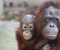 The Borneo exchange: Lianne and her baby, 3-year-old Morito, stare out from their cage at Asahiyama Zoo. | COURTESY OF ASAHIYAMA ZOO