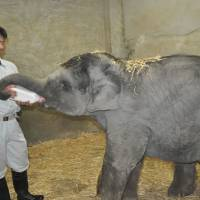 Mara, before she broke her front legs, stands on her own while being fed milk last October. | CHUNICHI SHIMBUN