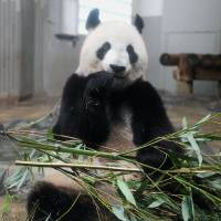 Shin Shin the panda unlikely to be pregnant