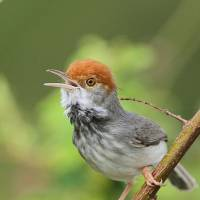 The Cambodian tailorbird  | AFP-JIJI