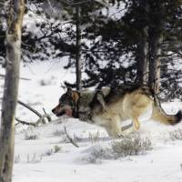 Gray wolf to lose U.S. endangered species status