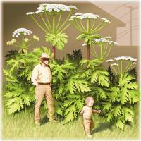 Alien invader: Giant hogweed, or Heracleum mantegazzianum, named after Hercules, harbors toxic sap which can cause skin problems and blindness in humans. | THE WASHINGTON POST