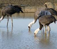 Wet your beak: Nabe-zuru, or Hooded Cranes, frolic on the ground and in the sky in Arasaki, Kagoshima Prefecture. | MARK BRAZIL