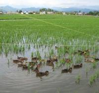 Toward sustainability: Weed-eating ducks cut down on pesticide use, helping humanity waddle a step closer to harmony with the environment. | NARUMI YOSHIKAWA