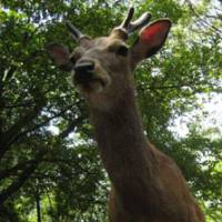 Looking up: One of the many Sika deer that roam the grounds of Miyajima shrine in Hiroshima Prefecture.