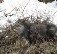 Tough guy: A hardy Japanese serow takes a break on a wintry Honshu hillside.