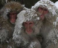 Social living: Japanese macaques huddle together for warmth. | MARK BRAZIL PHOTOS