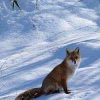 Brush with nature: A red fox beside a road in Hokkaido glows in winter sunshine.