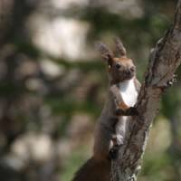 On alert: A beautiful Eurasian red squirrel spotted while it was foraging in Hokkaido.