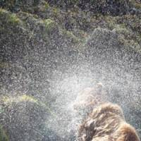Spray painting: A Brown bear shakes itself dry after a swim.