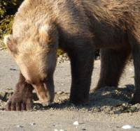 Bearing down: A full-grown male Brown bear powers into the sand with his front left leg on the shores of Geographic Harbour, Alaska, to catch a clam he has detected there. That area, within Katmai National Park, is reputed to have the world's largest population of Brown bears.