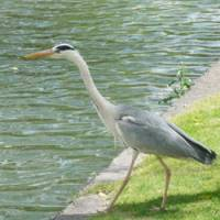 A grey heron intent on its hunt at Kurashiki, Okayama Prefecture.