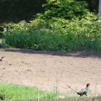 Bird brains: A neighbor attends to his plot oblivious to a cock pheasant strutting by. | C.W. NICOL PHOTOS