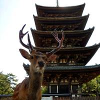 Drive for life: Sika deer like this one at Kofukuji in Nara will move northward. | CREATIVE COMMONS — JAKUB HALUN