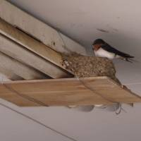 A Barn swallow on its mud nest in a Miyake Island garage. | MARK BRAZIL PHOTO
