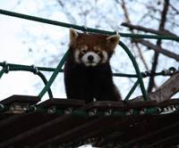 A lesser panda stares down at zoo visitors from an overhead walkway.