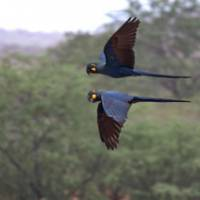 Poetry in motion: A pair of Lear's Macaws, an endangered species of Brazilian parrot that feeds off the nuts of Licuri palms and is known to live for up to 50 years. However, the palm habitat is now a precarious 1.6 percent of its original cover. | ANDY AND GILL SWASH PHOTO
