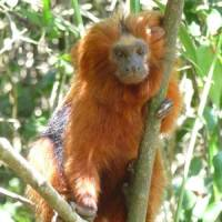 Rare treat: This Golden Lion Tamarin, a critically endangered monkey, was spotted in the Atlantic Forest of Brazil.