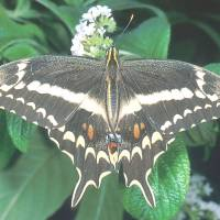 Endangered: Schaus swallowtail butterflies like this are on the brink in south Florida. | DR. THOMAS C. EMMEL, UNIVERSITY OF FLORIDA
