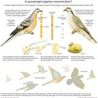 Could passenger pigeons be on the brink of de-extinction?