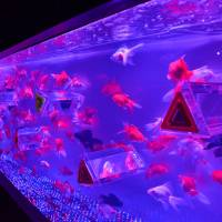 Masterpisces: Fish help turn the aquariums of Hidetomo Kimura into pieces of art.