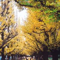 Autumn's glory (above) from the ginkgo trees along Icho-Namiki leading to the Meiji Memorial Picture Gallery; and the Shussei no Issidan steps to Atago Shrine, which a samurai is said to have ridden up and down.