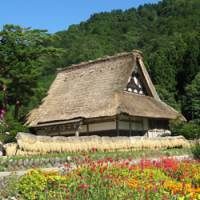 An old farmhouse in Shirakawago behind a field of cosmos flowers
