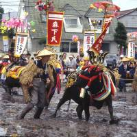 Reluctant cows meekly follow the bovine star of the Mibu no Hana Taue Matsuri rice-planting festival, whose origins are lost in the mists of time. | ANGELES MARIN PHOTO