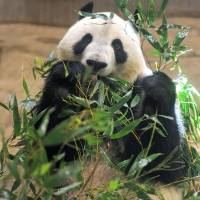 Panda Shin Shin to return to stage at Ueno Zoo