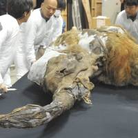 On ice: The frozen carcass of a 39,000-year-old female woolly mammoth calf pulled from the Siberian permafrost and named 'Yuka' is surrounded by exhibition staff Tuesday in Yokohama. | AFP-JIJI